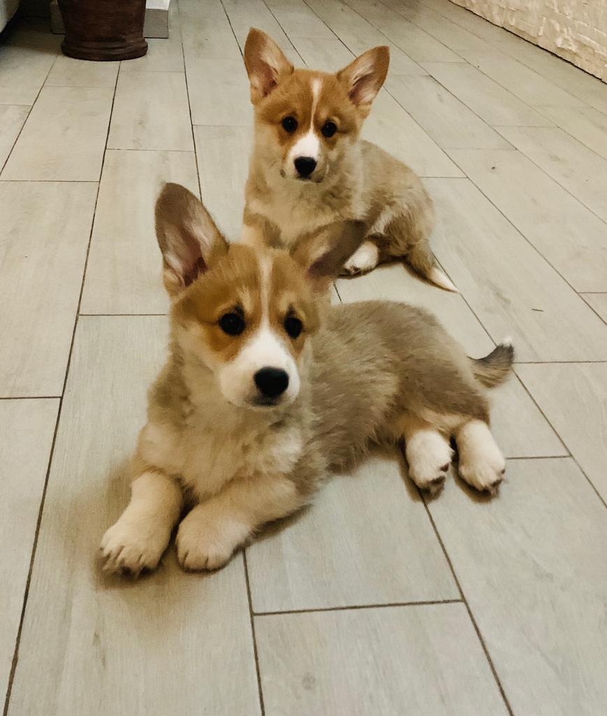 Allevamento Corgi Oracle Kennel scopri i nostri cani